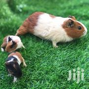 Guinea Pigs | Other Animals for sale in Dar es Salaam, Kinondoni