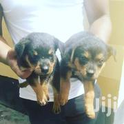 Baby Female Purebred Rottweiler | Dogs & Puppies for sale in Dar es Salaam, Temeke