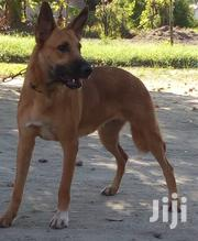 Adult Female Mixed Breed Belgian Malinois | Dogs & Puppies for sale in Dar es Salaam, Ilala