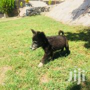 Baby Male Purebred Japanese Spitz | Dogs & Puppies for sale in Mwanza, Ilemela